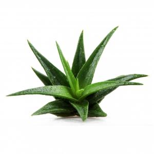 אלוורה (Aloe Vera)